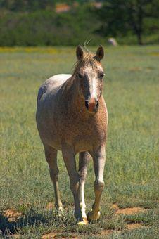 Free Appaloosa Horse Royalty Free Stock Images - 1439329