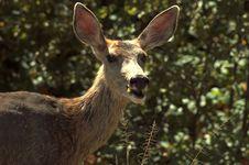 Free Mule Deer Stock Images - 1439384