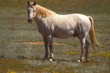 Free White And Silver Horse Royalty Free Stock Photos - 1439478