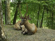Couple Of Deers On Rest Royalty Free Stock Images