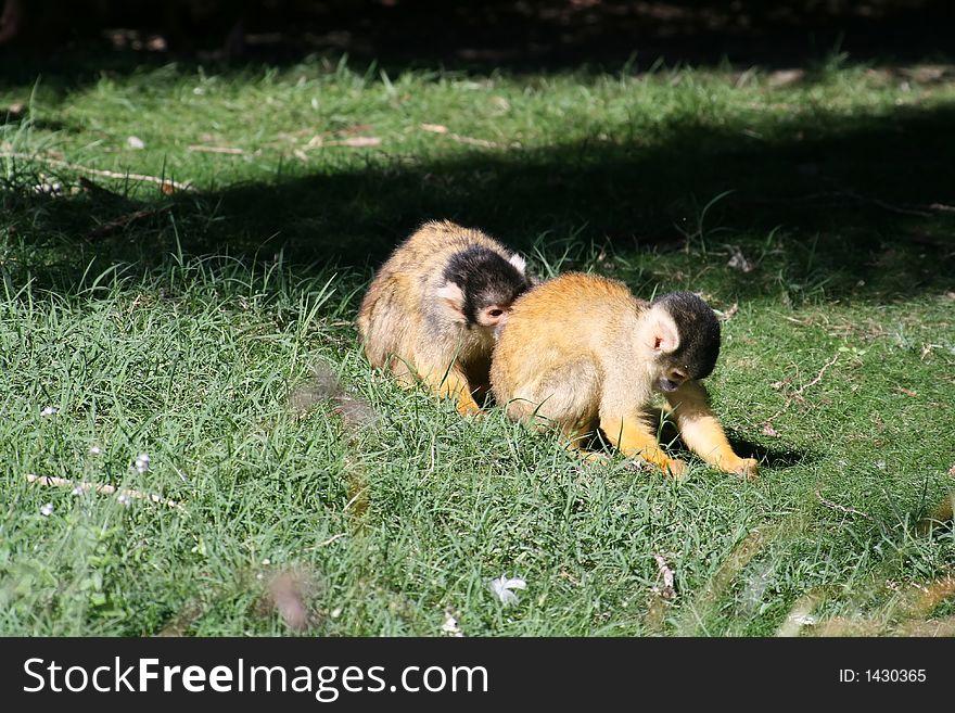 Two monkey playing