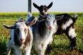 Free Three Little Goats, Kids Royalty Free Stock Photo - 14302955