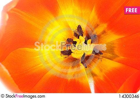 Free Red Tulip Royalty Free Stock Image - 14300346