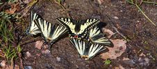 Old World Swallowtail Papilio Machaon Butterflies Royalty Free Stock Photo