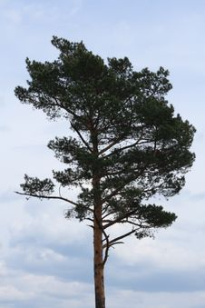 Free Pines Against The Sky Royalty Free Stock Photography - 14300087