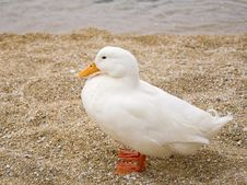 Free White Duck With Orange Beak In The Sand Royalty Free Stock Photos - 14300278