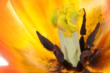 Free Tulip Extreme Close-up Stock Photography - 14300362