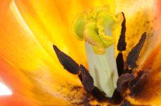 Free Tulip Extreme Close-up Stock Photography - 14300362
