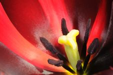 Free Red Tulip Royalty Free Stock Images - 14300409