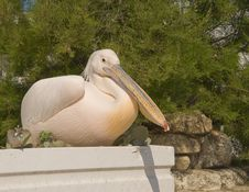 Free Pelican With A Pink-yellow Feathers Sitting Stock Photos - 14300693