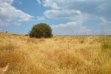 Free Solitary Tree Among Yellow Meadow Stock Photography - 14300932