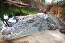 Free Crocodile Stock Photos - 14301493