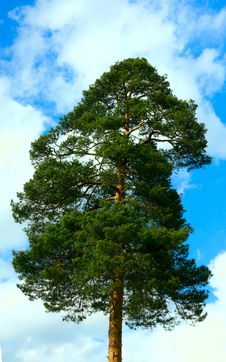 Free Pines Against The Sky Royalty Free Stock Photos - 14301818