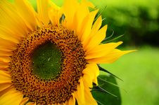 Free Sunflower & Flying Bee Royalty Free Stock Photos - 14302168