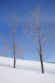 Free Trees On White Snow Stock Photography - 14302302