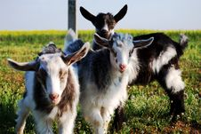 Free Three Little Goats, Kids Royalty Free Stock Photo - 14302955