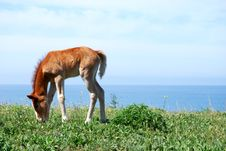 Free Brown Foal In A Meadow Royalty Free Stock Image - 14303176