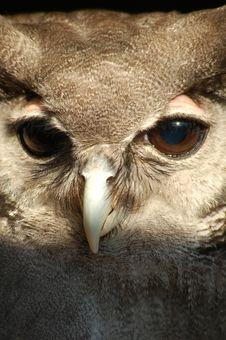 Free Milky Owl Royalty Free Stock Photos - 14303328