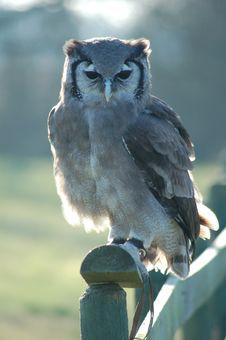 Free Milky Owl Royalty Free Stock Photos - 14303348