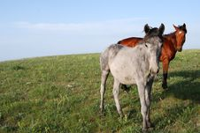 Free Two Horses In The Meadow Royalty Free Stock Image - 14303356