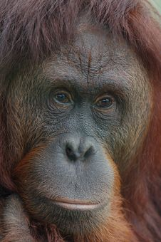 Free Orangutan Portrait Royalty Free Stock Photos - 14303358