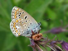 Free Polyommatus Icarus Stock Image - 14305021