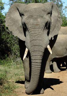 Free Elephant Bull Stock Photo - 14305060