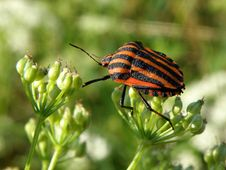 Free Graphosoma Lineatum Royalty Free Stock Photo - 14305085