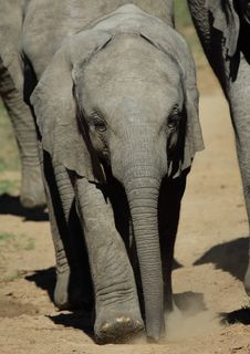 Free Baby Elephant Royalty Free Stock Images - 14305159