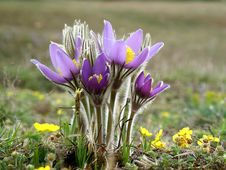 Free Pulsatilla Patens Royalty Free Stock Photography - 14305167