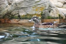 Free Female Carolina Wood Duck Swimming Royalty Free Stock Photos - 14306078