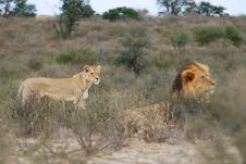 Free Female And Male Lion (Panthera Leo) Stock Images - 14306494