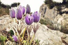 Free Blossom Crocuses Against Alpine View Stock Photos - 14306583