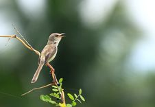 Birds Thailand Royalty Free Stock Images