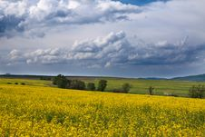 Free Field With Yellow Rape Royalty Free Stock Image - 14308026