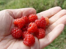 Free Berries Red Raspberries, Lying On The Hand Royalty Free Stock Photography - 14308997