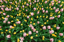 Free Tulip Field Royalty Free Stock Image - 14309516
