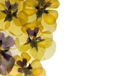 Free Pansy Border Stock Photography - 14309522