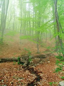 Free Forest In Fog Stock Image - 14309941