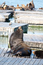 Free Sea Lions Royalty Free Stock Photos - 14310828