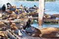 Free Sea Lions Stock Image - 14310831