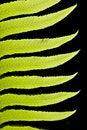 Free Backlit Fern Branch Leaves On Black Stock Image - 14313991