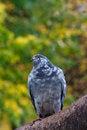 Free Pigeon Bird Royalty Free Stock Photography - 14315887