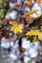 Free Leaves Of A Red Maple Stock Image - 14316731