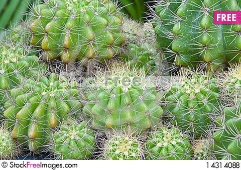 Free Cactus Royalty Free Stock Photos - 14314088