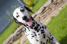 Free Dalmatian Outside Royalty Free Stock Photos - 14310098