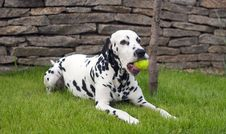Dalmatian Playing With A Ball Stock Image