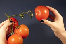 Pulling The Tomatoe Royalty Free Stock Image