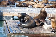 Free Sea Lions Royalty Free Stock Photography - 14310817