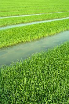 Free Rice Seedlings Royalty Free Stock Image - 14310906